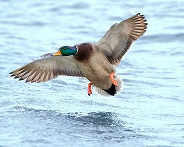 Choptank River Flying Male Mallard Duck