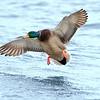 Choptank River Flying Male Mallard Duck