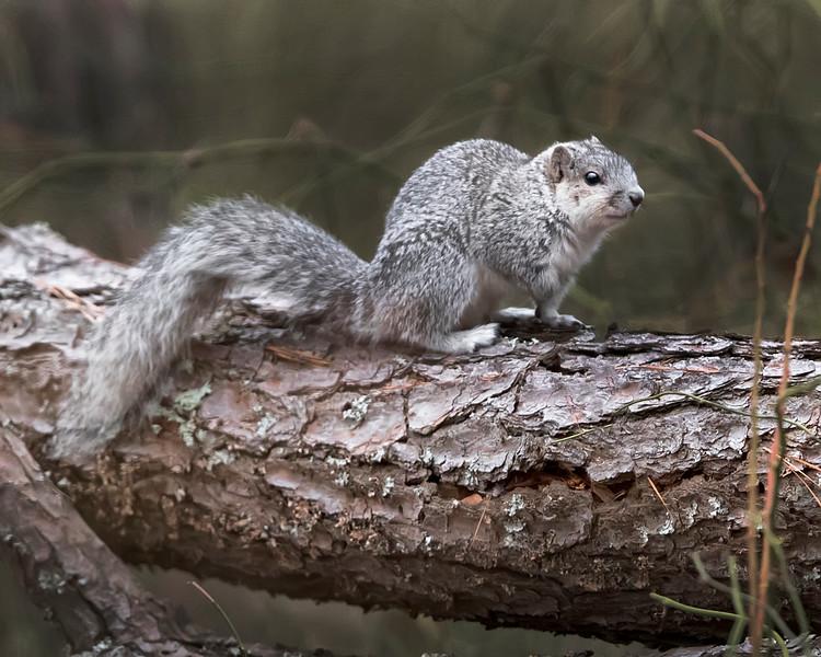 Chincoteage Island National Wildlife Refuge Delmarva Fox Squirrel