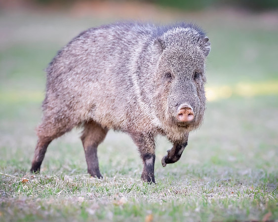 Big Bend National Park Collared Peccary or Javelina