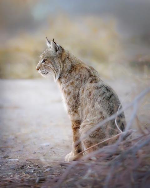 Bosque del Apache Bobcat