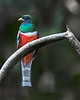 Tambopata National Reserve Trogon