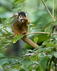 Tambopata National Reserve Squirrel Monkey