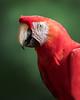 Tambopata National Reserve Scarlet Macaw