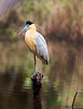 Tambopata National Reserve Capped Heron