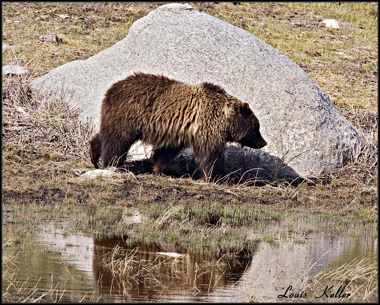 Spring time activities by the Wildlife of YNP.