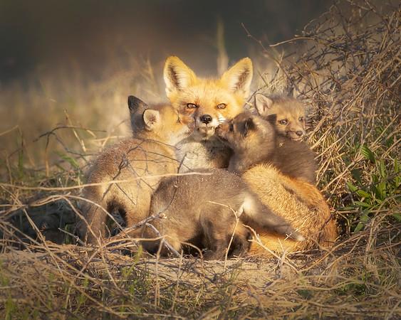 Fort Monroe Red Fox Family