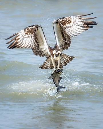 James River Osprey Catching Shad