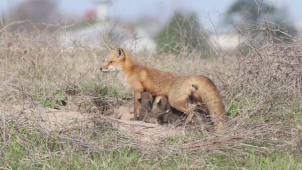Fort Monroe Red Fox Vixen and Kits