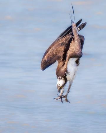 James River Diving Osprey