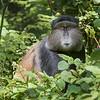 Volcanoes National Park Golden Monkey