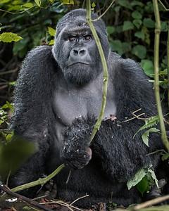 Volcanoes National Park Silverback Gorilla