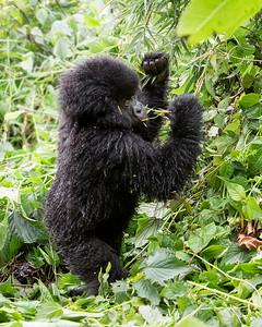 Volcanoes National Park Infant Gorilla