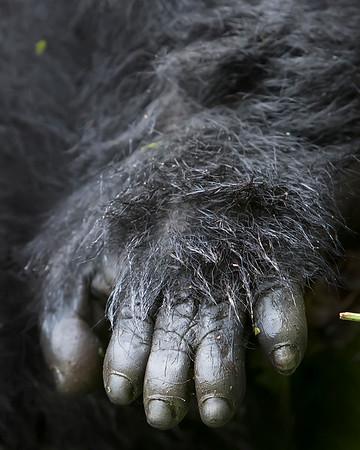 Volcanoes Naitonal Park Gorilla Hand