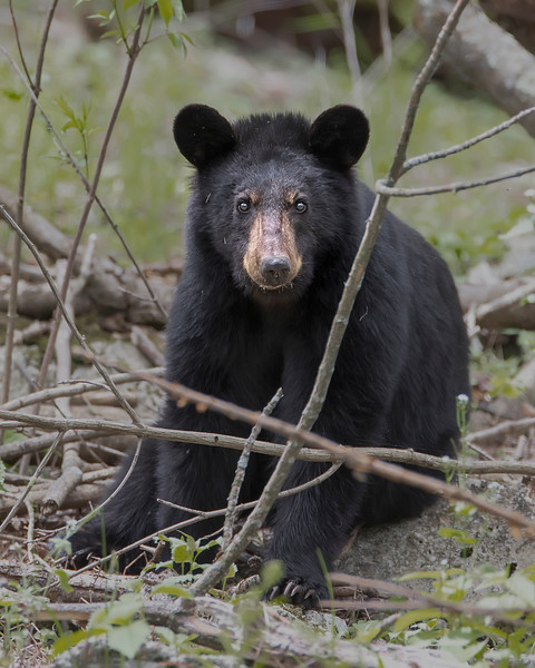 Shenandoah National Park Black Bear