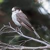 Olympic National Park Gray Jay