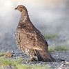 Mount Ranier National Park Sooty Grouse