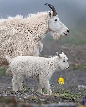 Mountain Goat Nanny and Kid in Olympic National Park