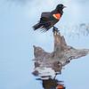Yellowstone National Park Red-winged Blackbird
