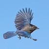 Olympic National Park Steller's Jay