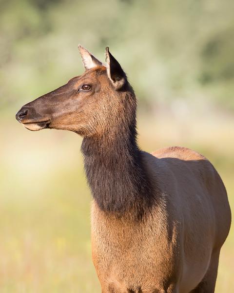 Roosevelt Elk Doe in Redwood National Park