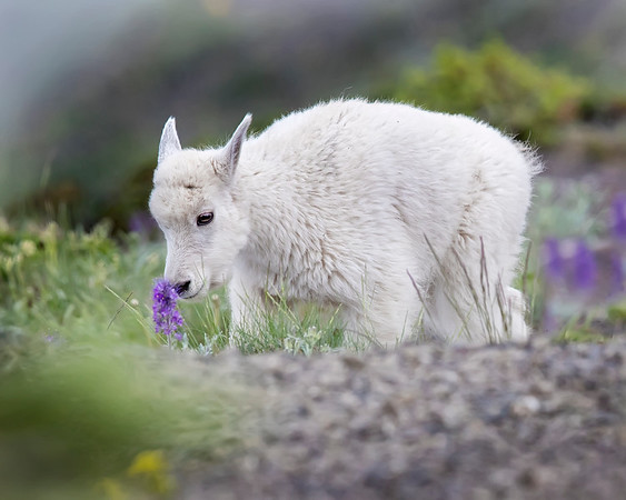 Mountain Goat Kid in Olympic National Park