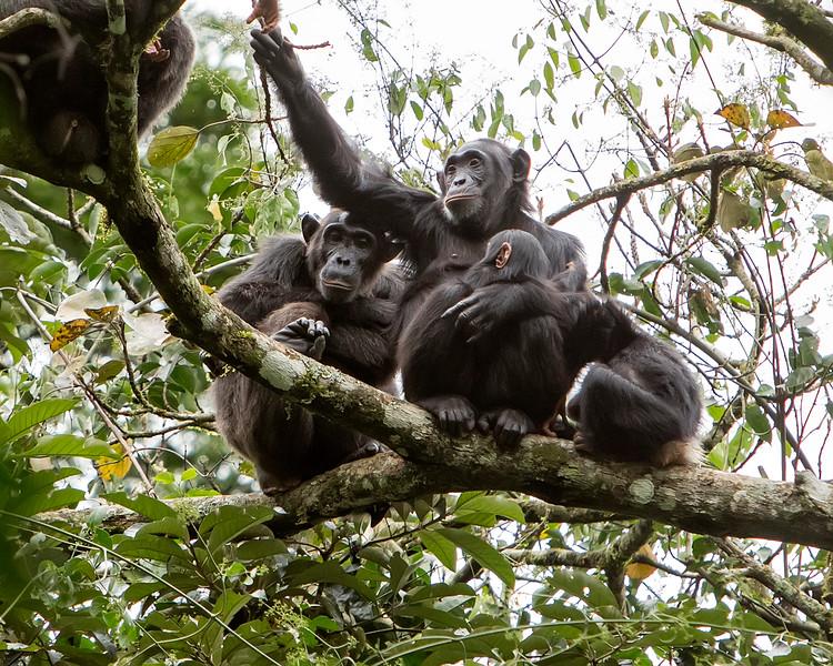 Kibale Chimpanzee Family