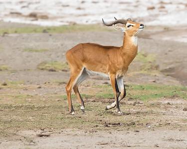 Queen Elizabeth National Park Uganda Kob