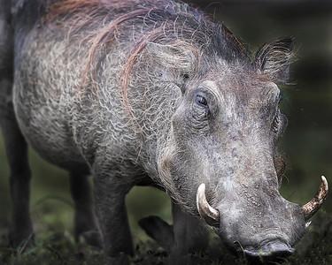 Queen Elizabeth National Park Wart Hog
