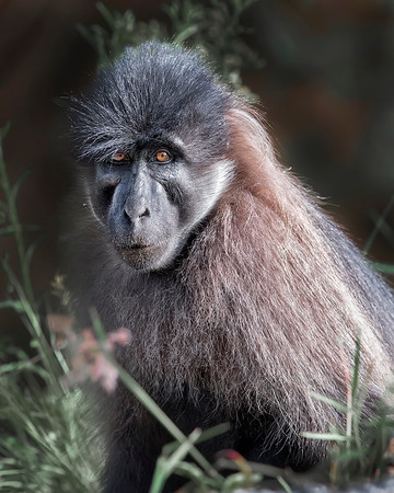 Kibale Grey-cheeked Mangabey Monkey