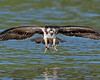 James River Osprey, Virginia
