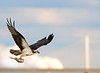 James River Osprey with Varina-Enon Bridge background, Virginia
