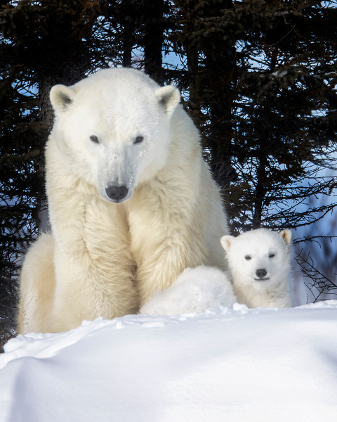 Wapusk National Park Polar Bear Mother and Cub