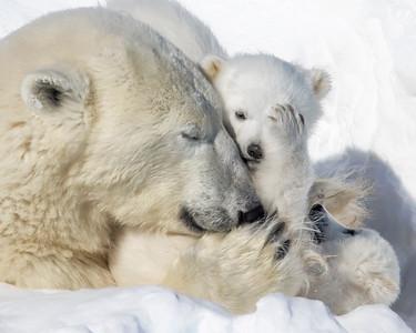 Wapusk National Park Polar Bear Mother and Cub