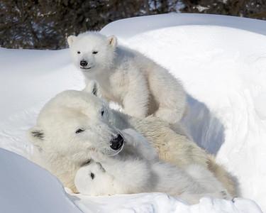 Wapusk National Park Polar Bear Mother and Cubs