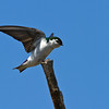 IMG_8431Swallow