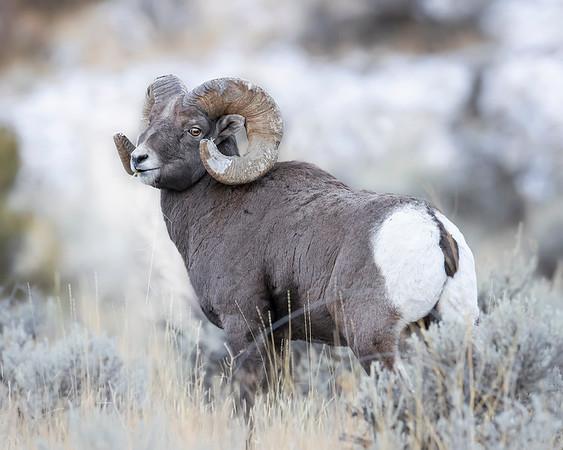 Yellowstone National Park Bighorn Sheep