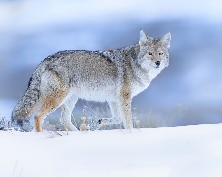 Yellowstone National Park Coyote