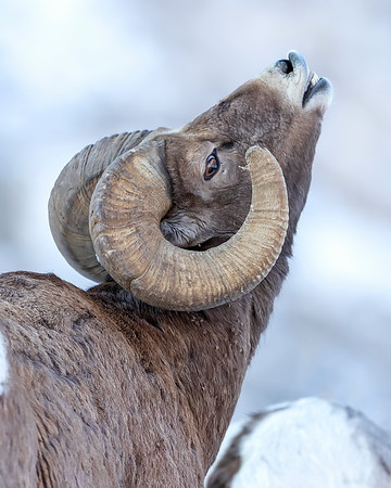 Yellowstone Natoinal Park Bighorn Sheep