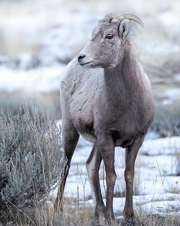 Yellowstone National Park Bighorn Sheep Ewe