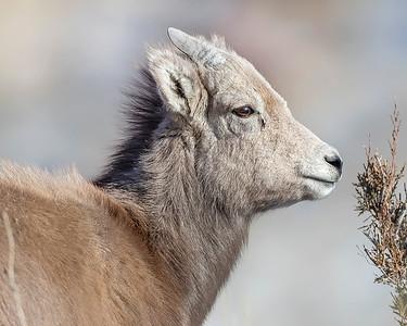 Yellowstone National Park Bighorn Sheep Lamb