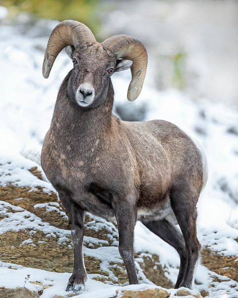 Yellowstone National Park Bighorn Sheep