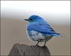 Bluebird5075_1448