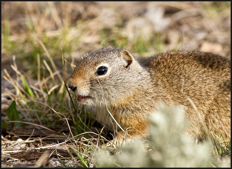 GroundSquirrel4880_1269