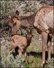 Cow&BabyElk6103_2803A