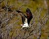 FlyingOsprey5145_1195