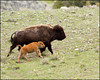 BisonCow&Calf4759_1580