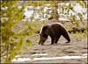 Grizzly4823_1635