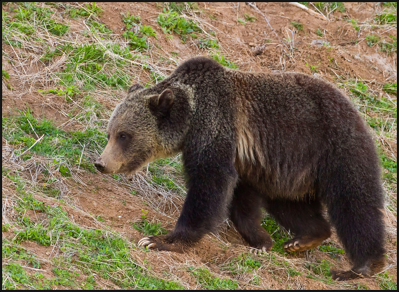 Grizzly5443_2010