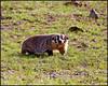 Badger5960_3188
